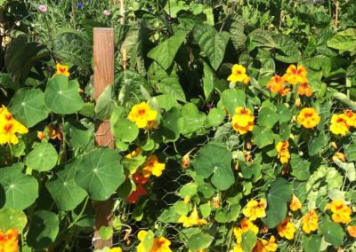 ~ Edible nasturtiums are a cheerful sight.