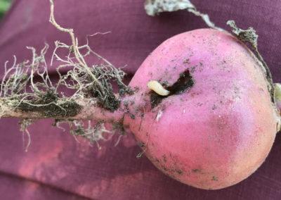 Cabbage Root Maggot