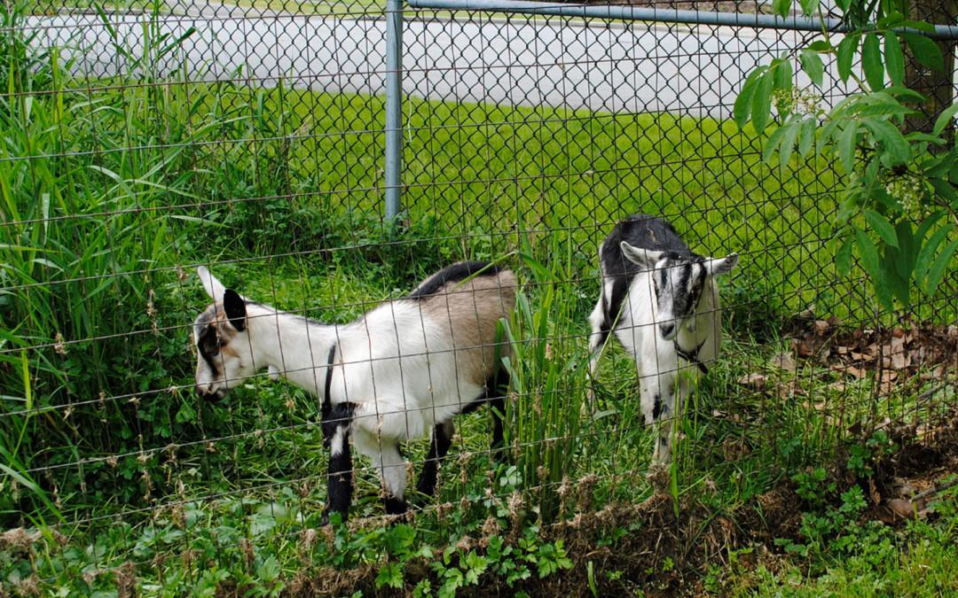 Goats at the Garden