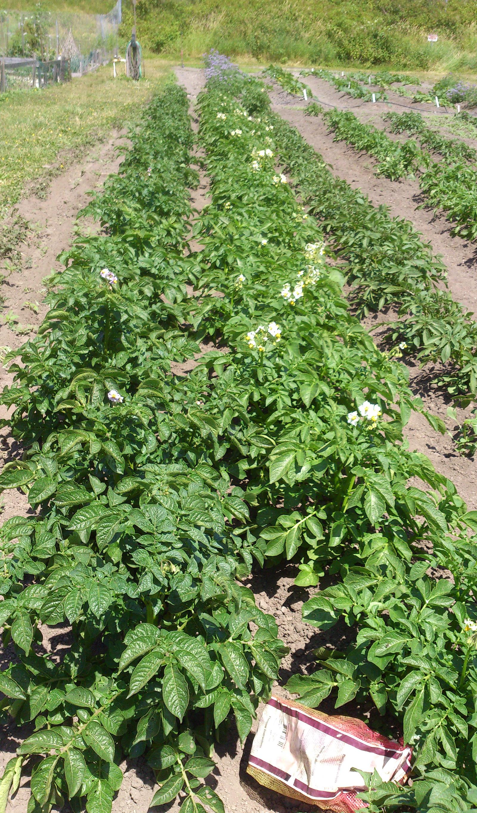 Potato Patch in June