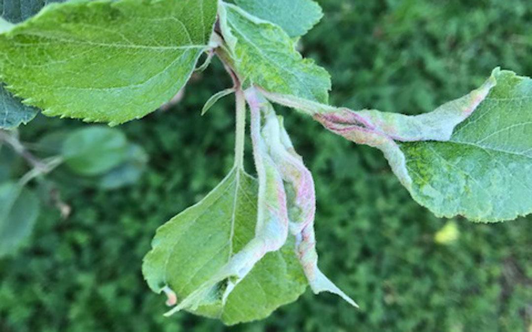 Apple leaf curling midge evidence