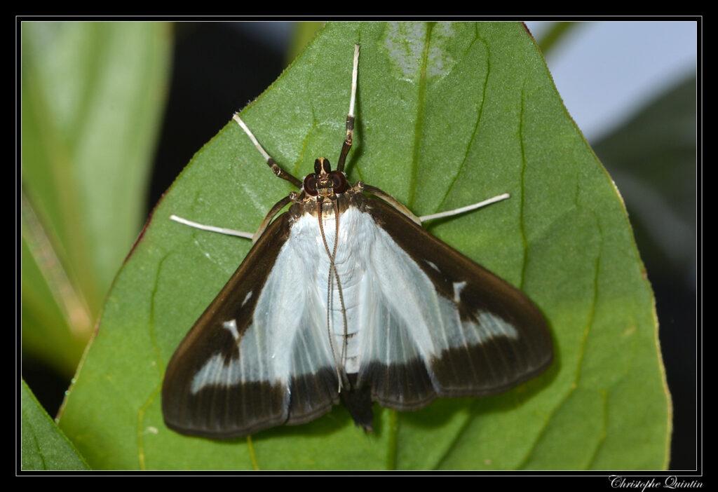 Box tree moth (Cydalima perspectalis)