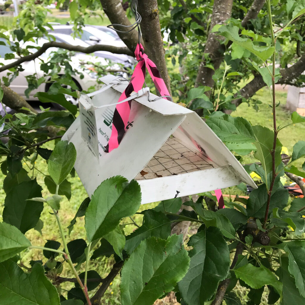 Triangle trap for apple leaf curling midge